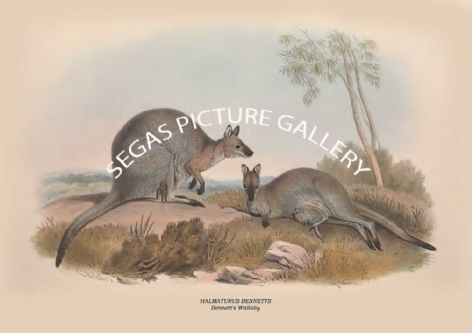 Fine art print of the HALMATURUS BENNETTII - Bennett's Wallaby  by John Gould (1841-2)